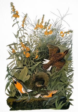 Eastern Meadowlark, by John James Audubon
