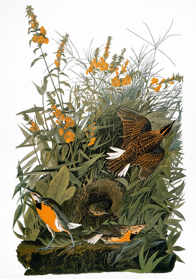 Eastern Meadowlark, by John James Audubon