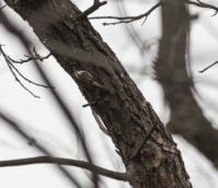 Brown Creeper, Mary McAtee photo