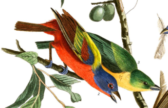Painted Bunting, by John James Audubon