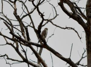 Prairie Falcon at Lake Carl Blackwell, 20 Dec. 2014. Photo by Lisa Elizondo.
