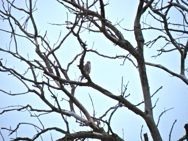 Prairie Falcon in the