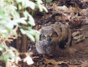 13 June 2014: It may look vulnerable on the ground, but this juvenile Great Horned Owl is right where it is supposed to be. Its mother is watching and it can defend itself pretty well at this stage.
