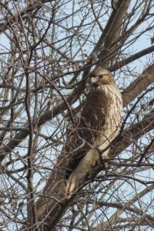 Immature Red-shouldered Hawk, photo by Elaine Stebler