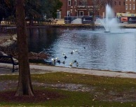 Theta Pond on the OSU campus supplied this motley crew of domesticated Mallards
