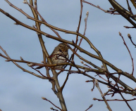 Lots of Song Sparrows out there