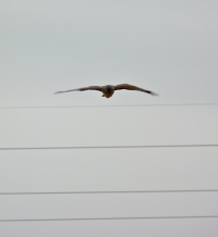 This Northern Harrier swooped in low and fast but came up empty on catching an Eastern Meadowlark