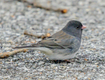 Dark-eyed Junco, photo by Jim Cowley