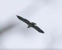 Bald Eagle, photo by Jim Cowley