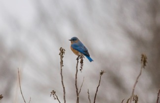 Eastern Bluebird, photo by Jessica Torres