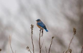 Eastern Bluebird, photo by Jessica Torres