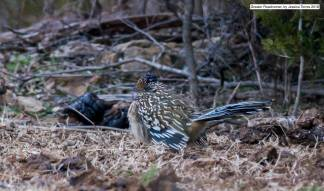 Greater Roadrunner, photo by Jessica Torres