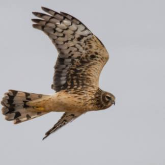 Northern Harrier, photo by Jessica Torres
