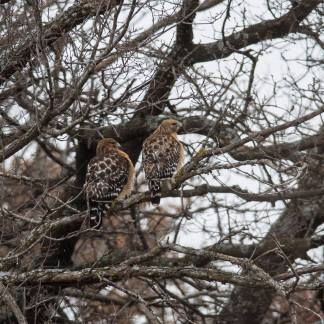 Red-shouldered Hawks, photo by Jessica Torres
