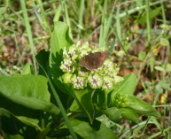 Northern Cloudywing on Antelopehorns milkweed.