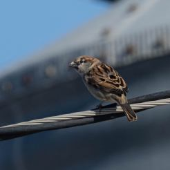 House Sparrow. Photo by Jim Cowley.