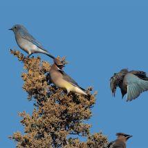 Squabbling Cedar Waxwings and Mountain Bluebirds on Eastern Redcedar. Photo by Jim Cowley.