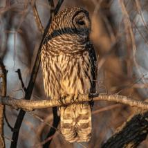 Barred Owl. Photo by Jim Cowley.
