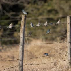 Mountain Bluebirds. Photo by Jim Cowley.