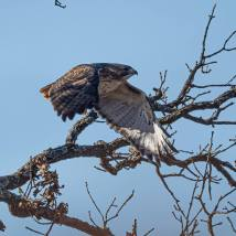 Red-tailed Hawk. Photo by Jim Cowley.