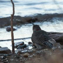 Northern Flicker. Photo by Jim Cowley.