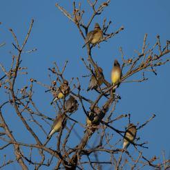 Cedar Waxwings. Photo by Jim Cowley.