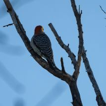 Red-bellied Woodpecker. Photo by Jim Cowley.