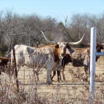 Gotta find some bovine buddies evert time! Photo by Tim O'Connell.
